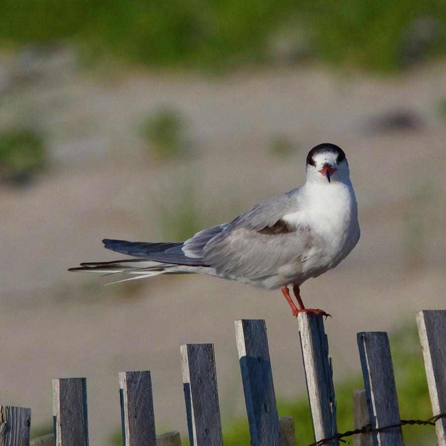 Common Tern Photograph - Common Tern by John Kearns