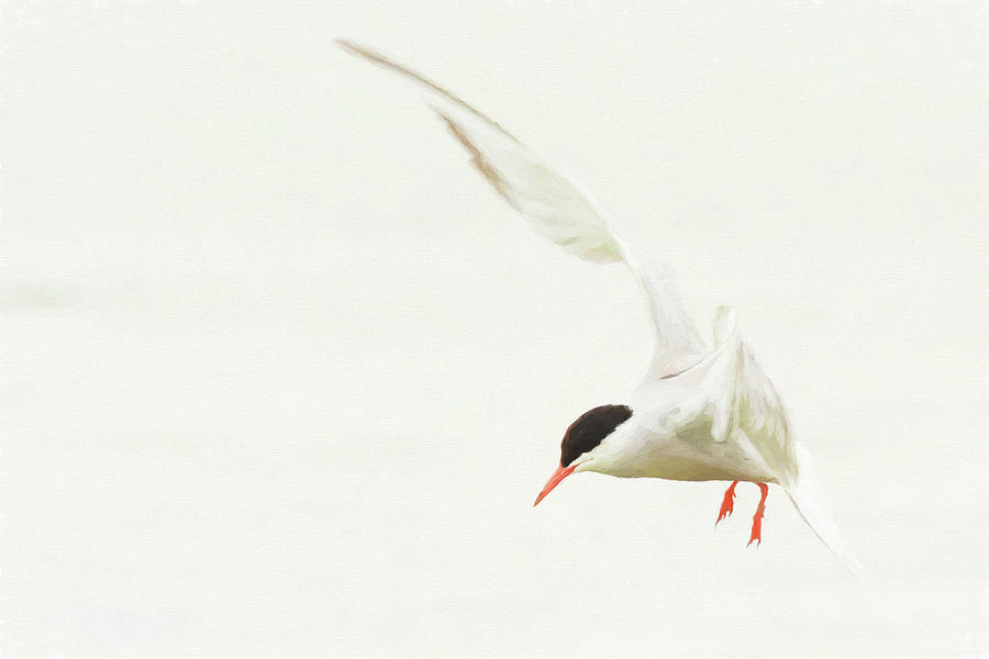 Common Tern - Sterna Hirundo - - Creative Photograph