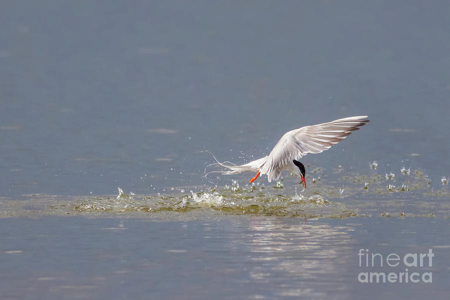 Common Tern - Sterna hirundo - emerging from the water with a fish by Paul Farnfield