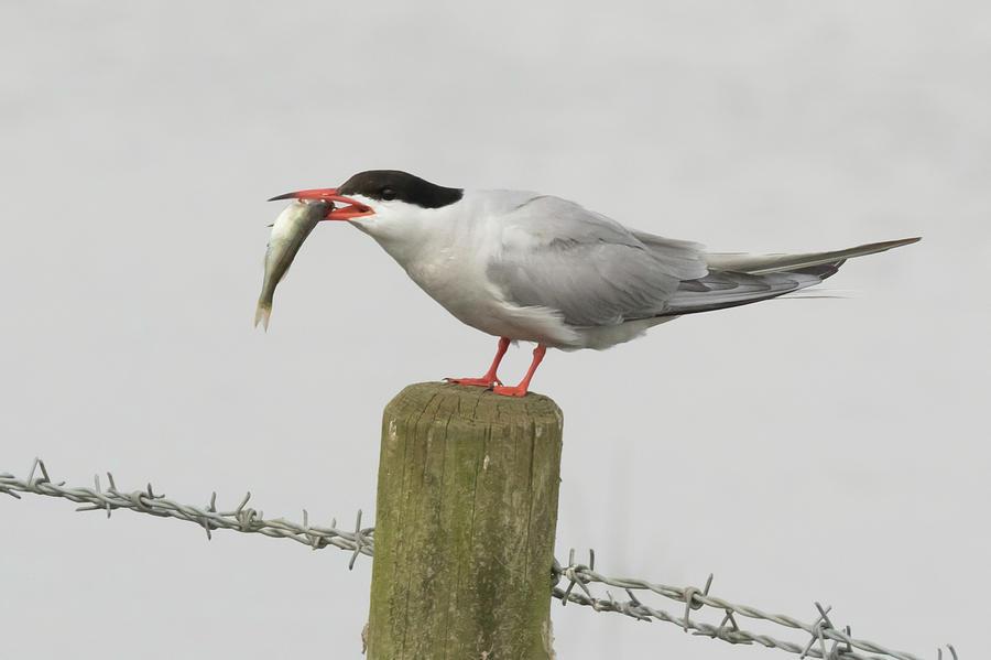 Common Tern With Fish - Sterna Hirundo Photograph