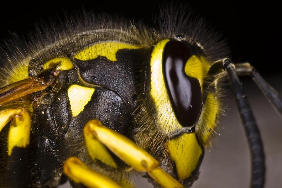 Animal Photograph - Common Wasp Vespula Vulgaris Close-up by Gabor Pozsgai