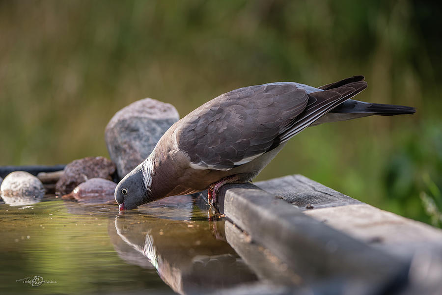 Common Wood Pigeon Drinking At The Waterhole Photograph