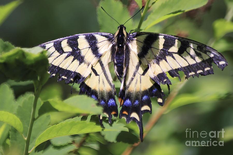 Butterfly Photograph - Common Yellow Swallowtail by Deborah Benoit