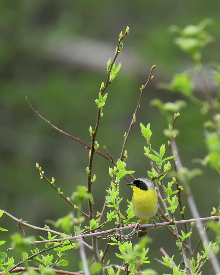 Warbler Photograph - Common Yellowthroat by Bill Wakeley