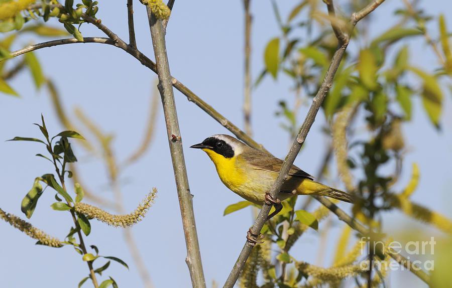 Common Yellowthroat Photograph