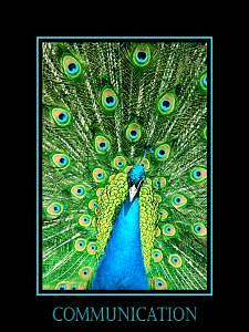 Peacock Photograph - Communication by Kelly  Kane