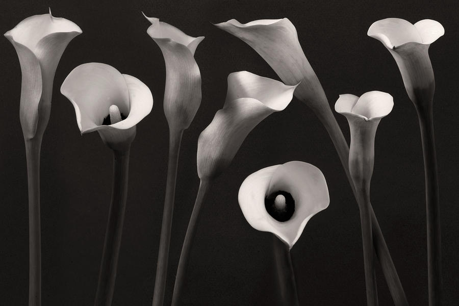 Calla Lily Photograph - Composition With Calla Lily by Floriana Barbu