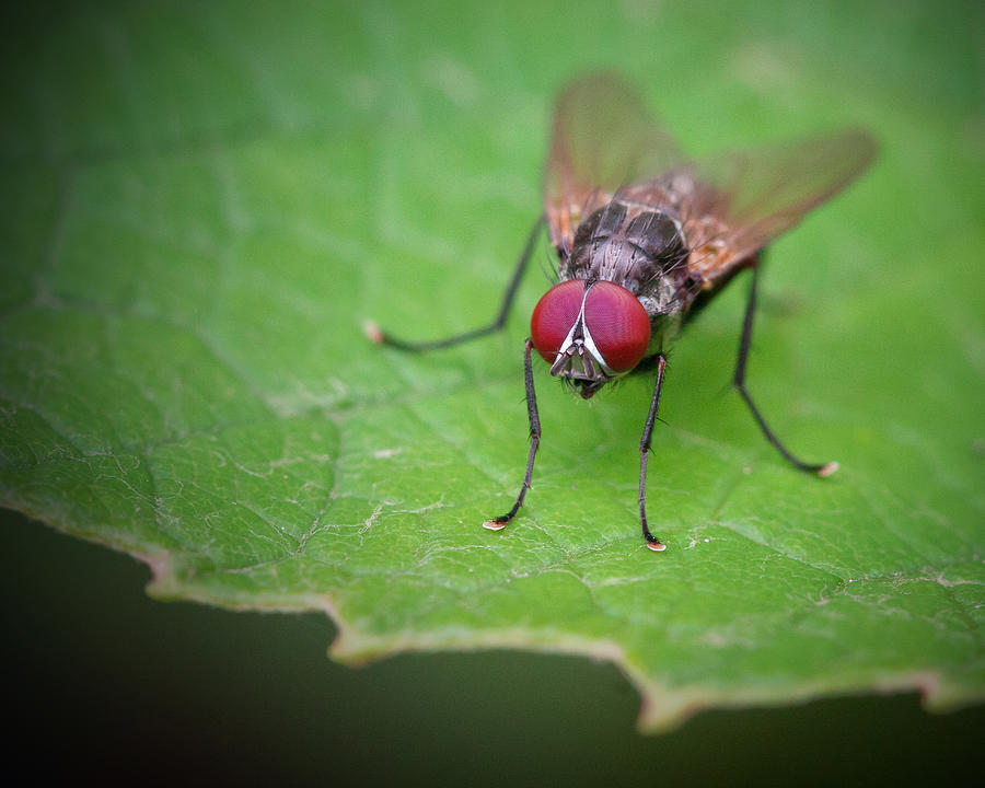 Fly Photograph - Compound Contemplation by David Lamb