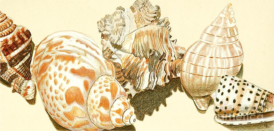 Conch Shells Drawing