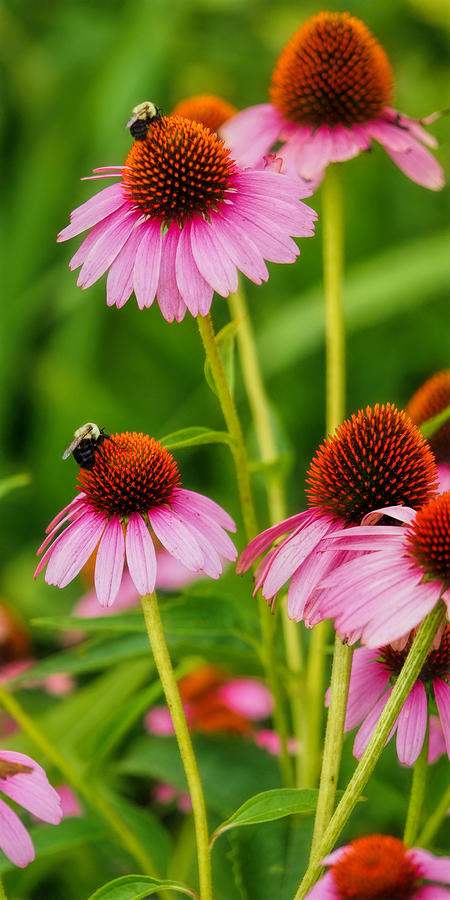 Cone Flower Bees by Don Keisling