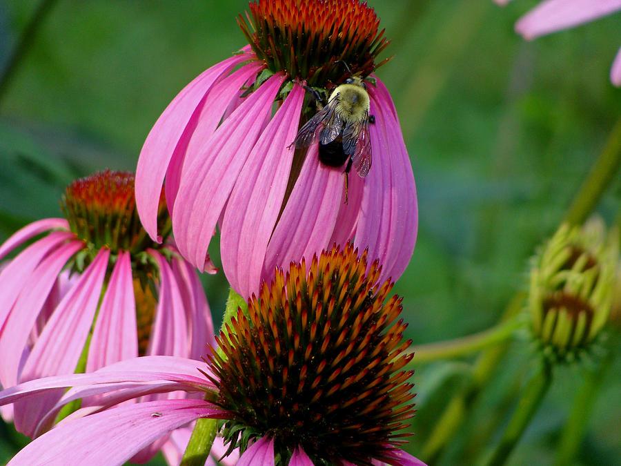 Macro Photograph - Cone Flower  Bumble Bee Macro by Martin Morehead