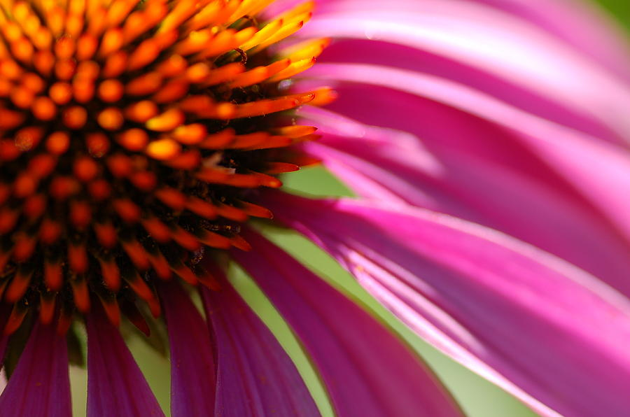 Macro Photograph - Cone Flower by Scott Gould