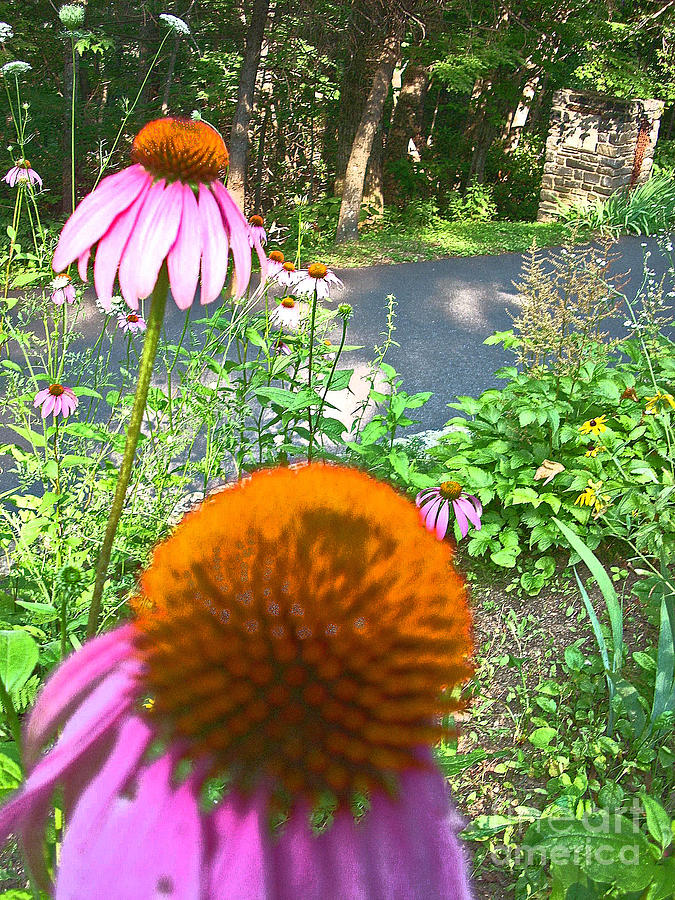 Garden Photograph - Cone Flowers And Others by Beebe  Barksdale-Bruner