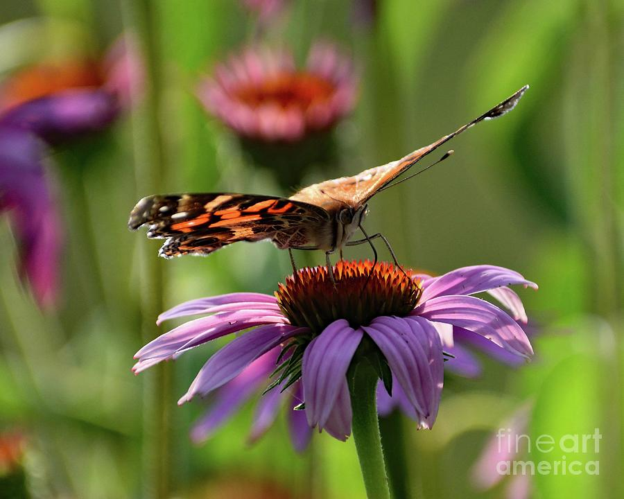 Coneflower And Painted Lady Photograph