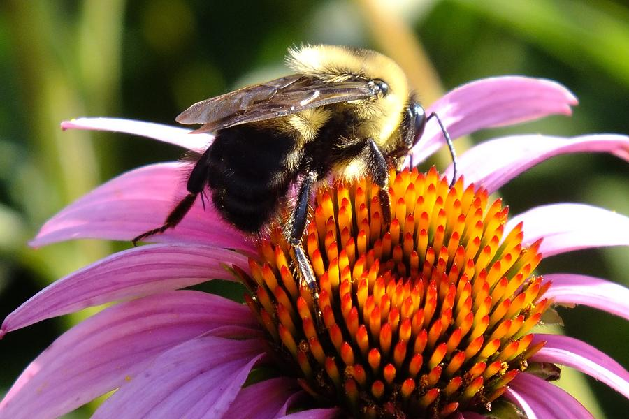 Coneflower And Bee Macro Photograph