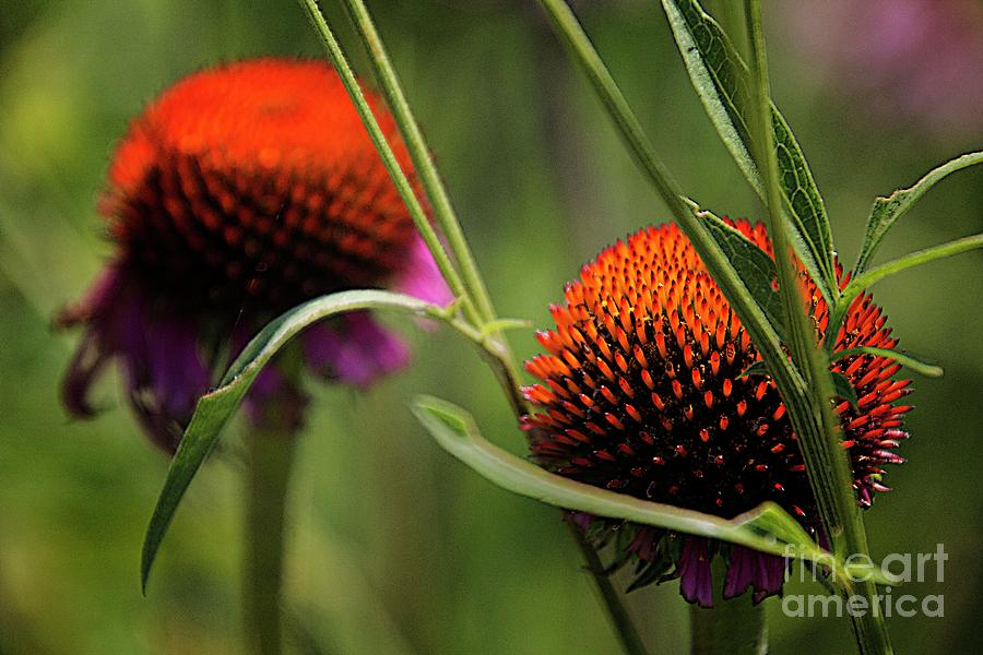 Flower Photograph - Coneflower Centers by Jim Wright