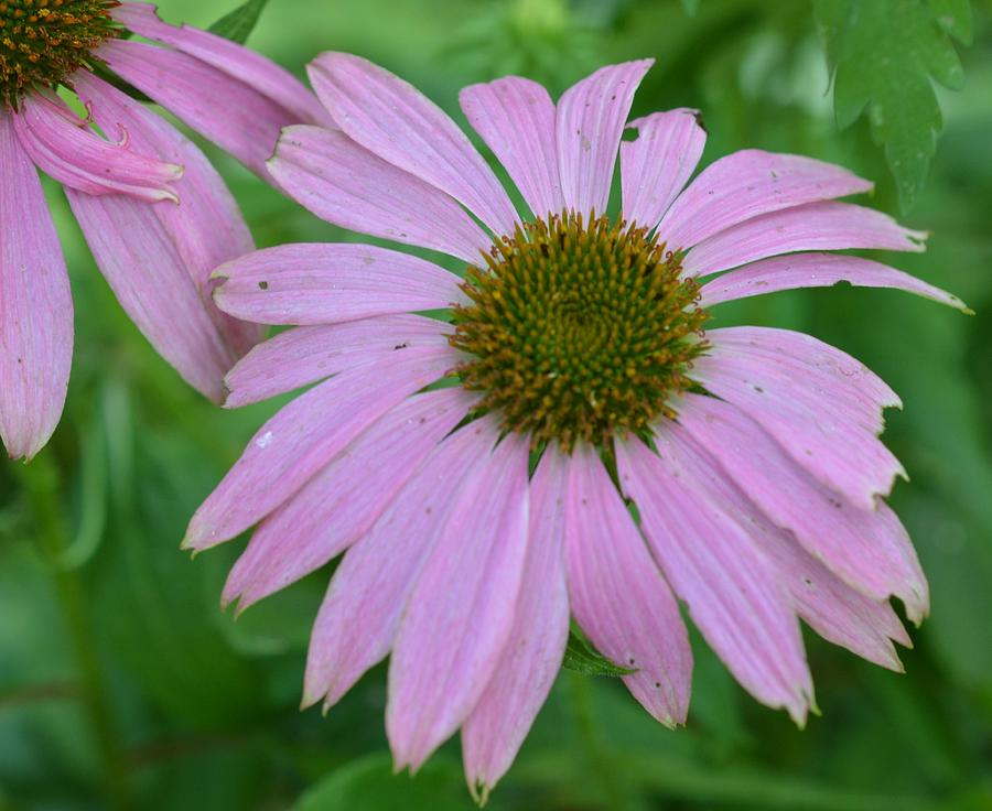 Flowers Photograph - Coneflower by Charles HALL