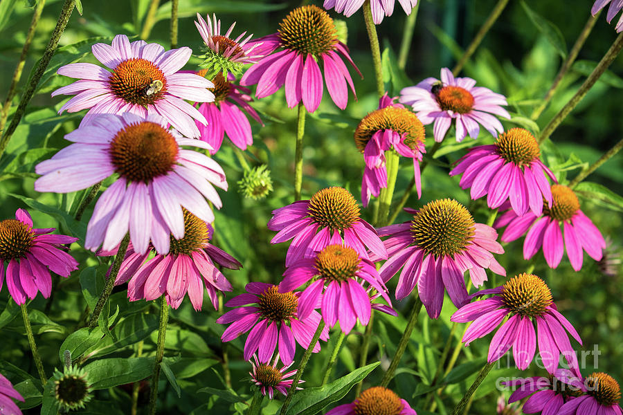 Coneflower Garden Photograph