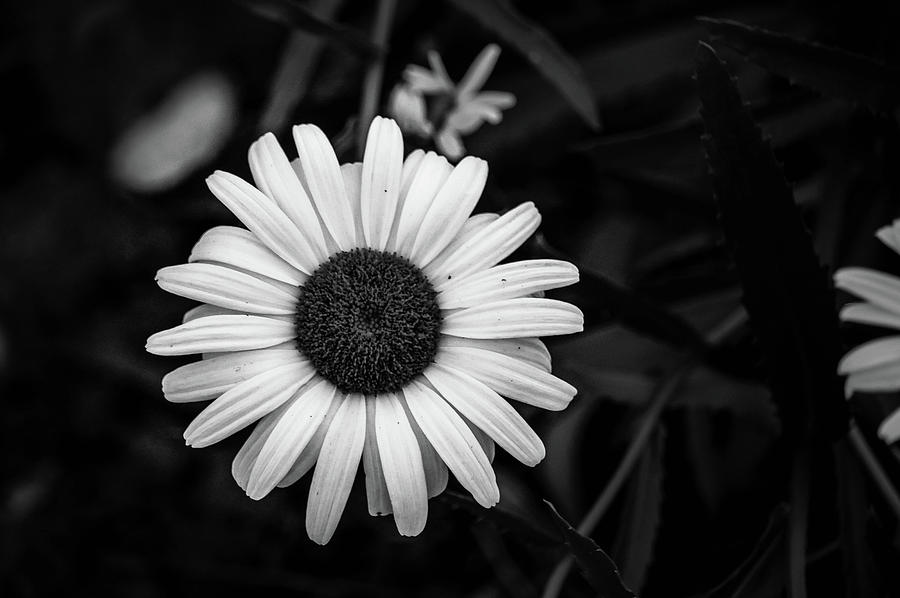 Coneflower In Black And White Photograph