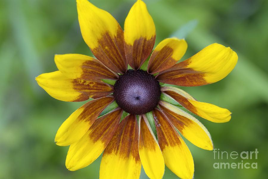 New England Photograph - Coneflower - New England Wild Flower by Erin Paul Donovan