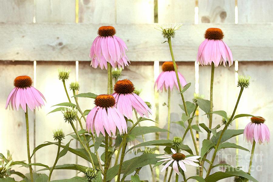 Flower Garden Photograph - Coneflower Patch by Steve Augustin
