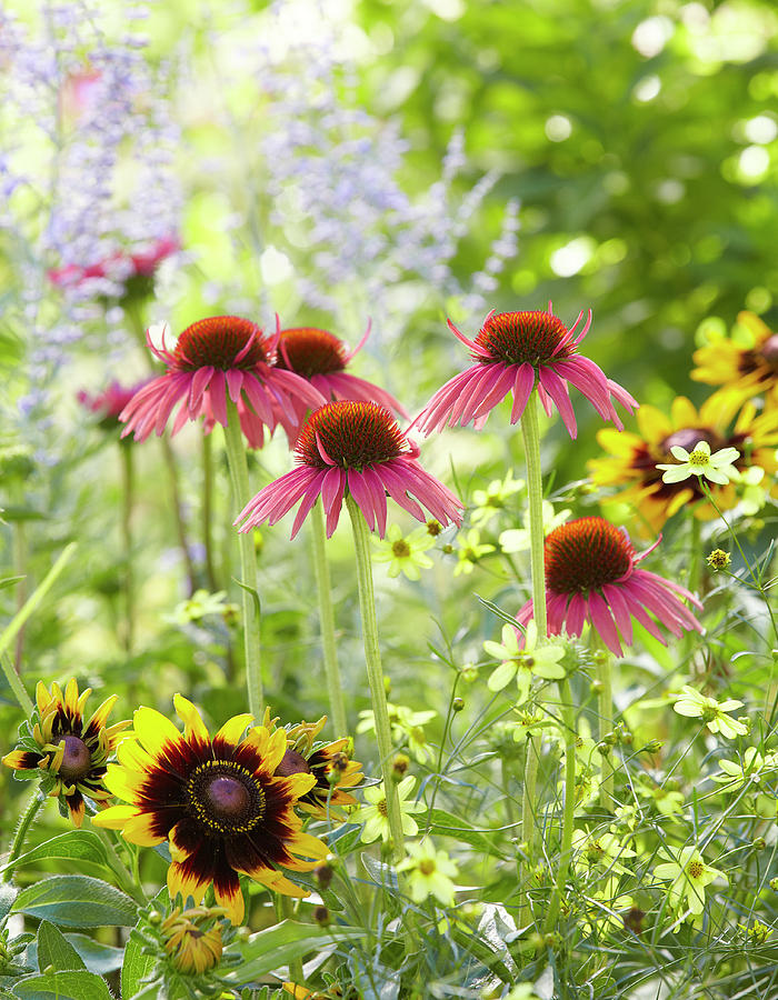 Coneflower scene by Garden Gate