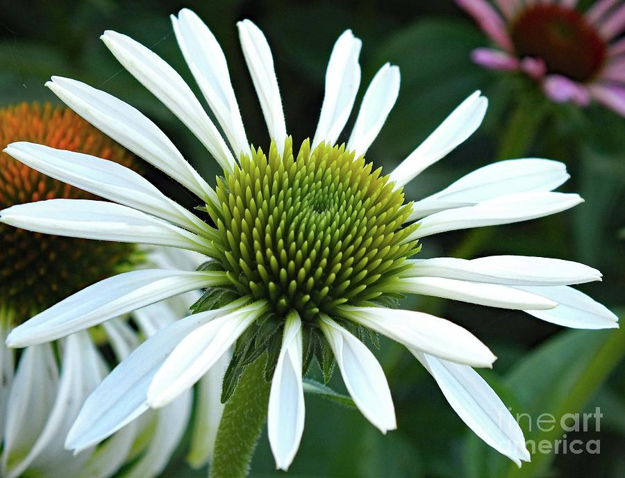 Coneflower - Snow White Perfection Photograph