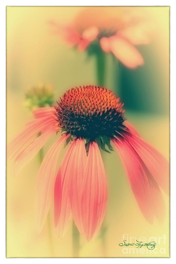 Coneflower Photograph - Coneflower by Susan  Lipschutz