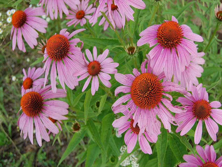 Flower Photograph - Coneflowers by Audrey Venute