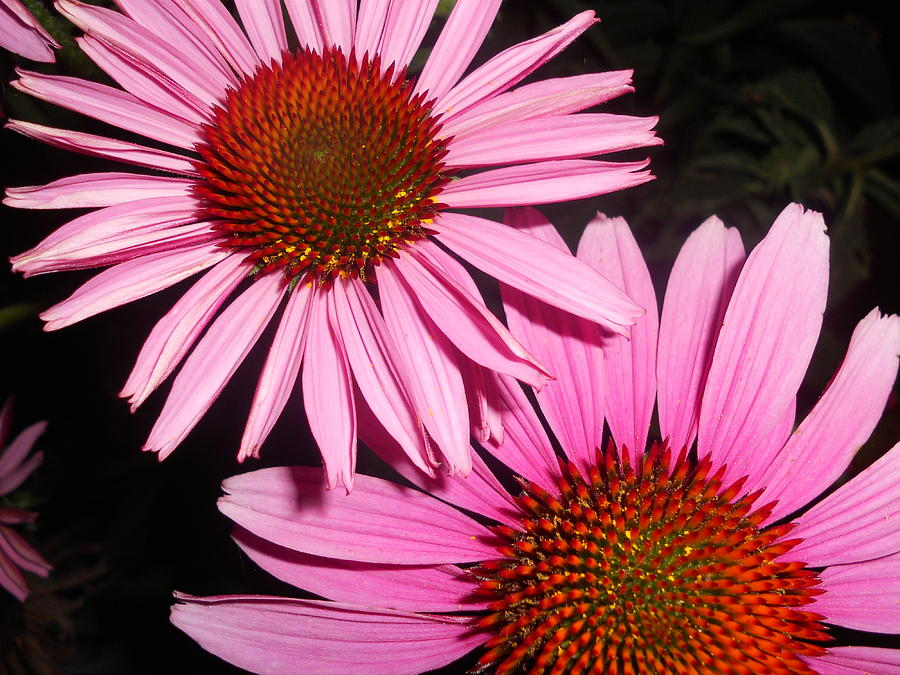 Double The Viewing Pleasure - Coneflowers Photograph