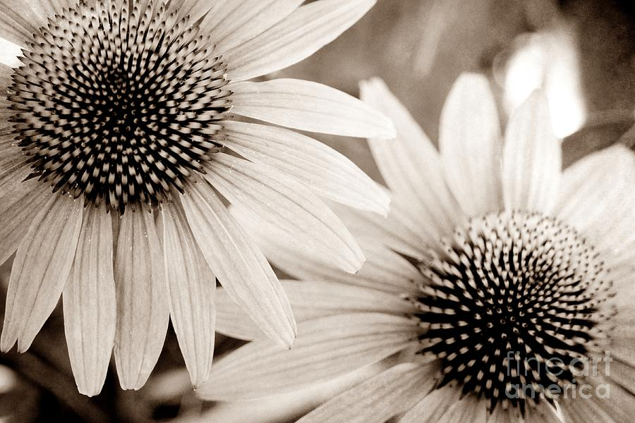 Coneflower Photograph - Coneflowers In Sepia by Patricia Strand