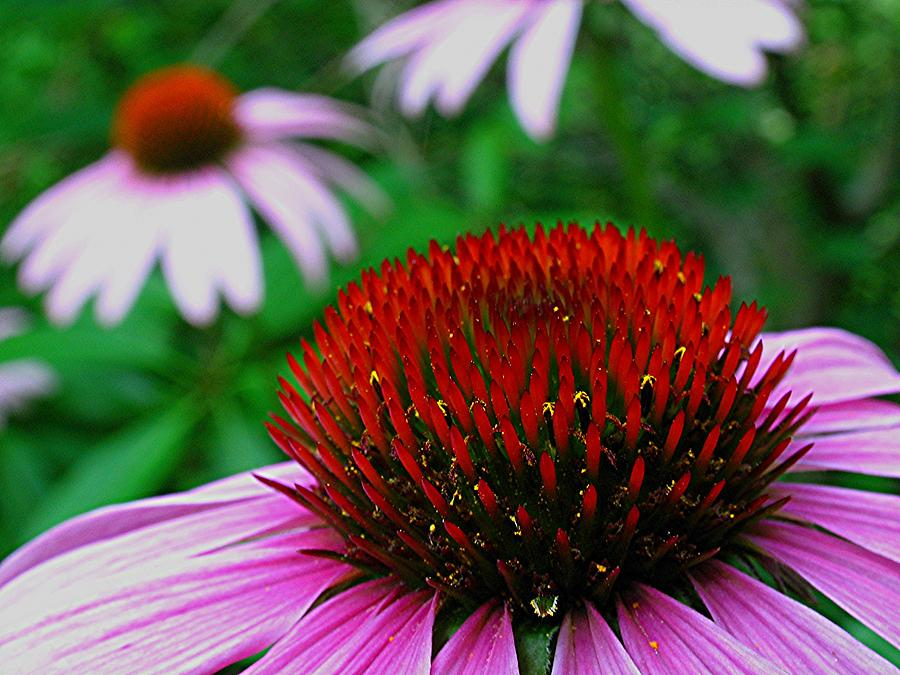 Purple Photograph - Coneflowers by Juergen Roth