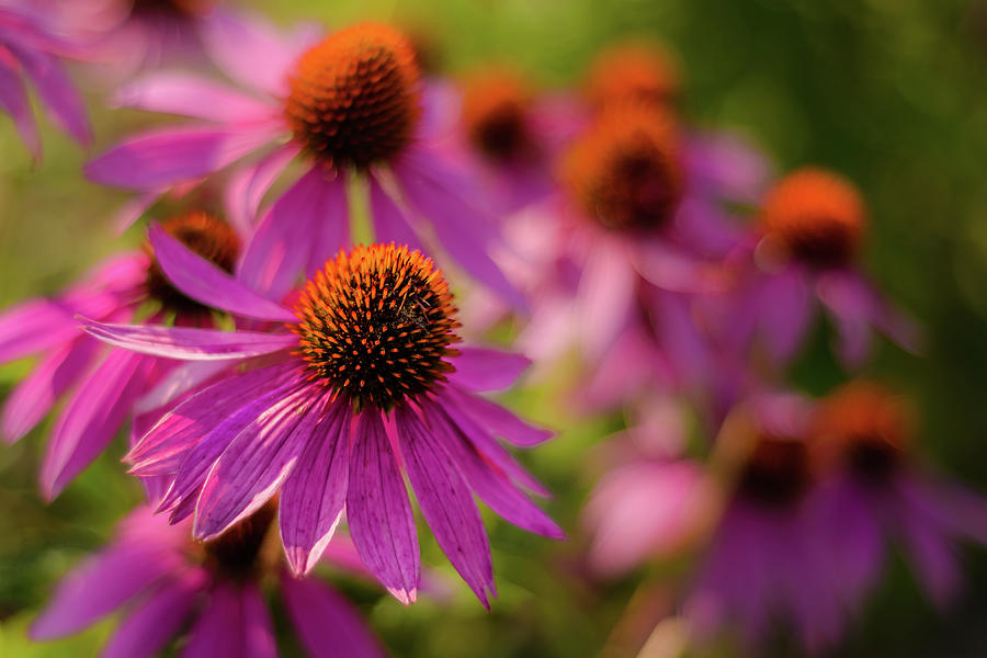 Coneflowers by Robert Mitchell