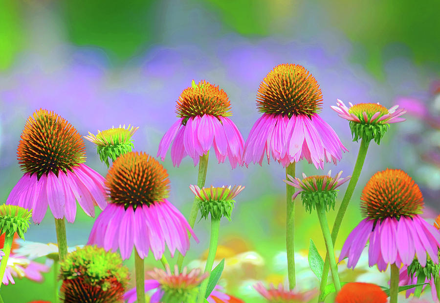 Coneflowers by Rodney Campbell