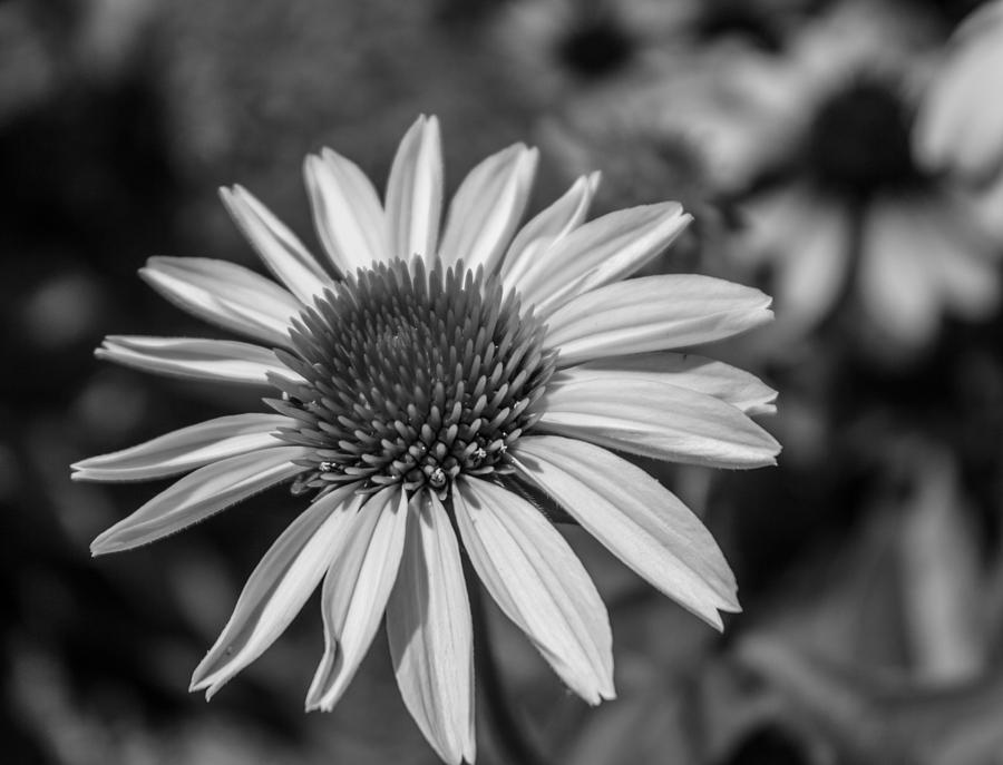 Conehead Daisy In Black And White Photograph