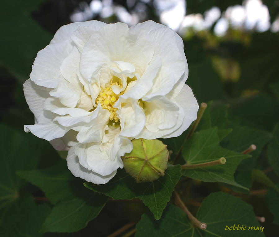 Botanical Photograph - Confederate Rose by Debbie May