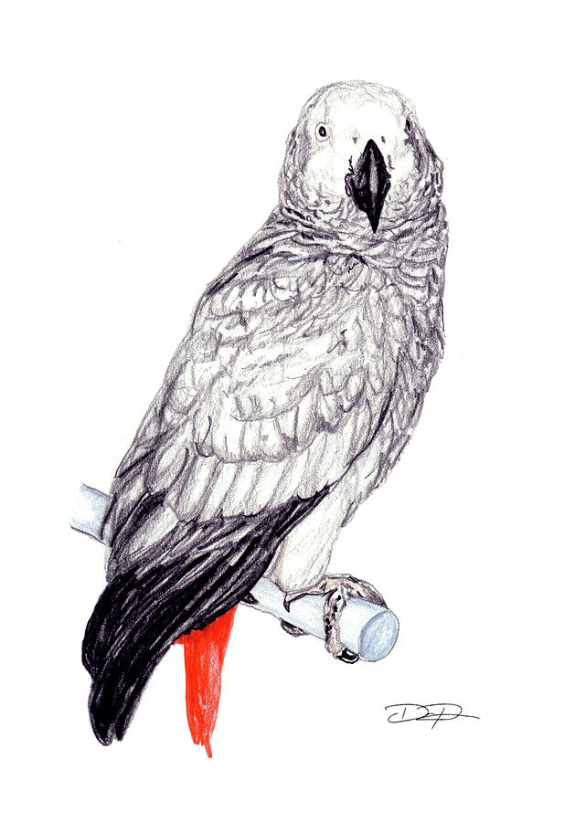 Parrot Drawing - Congo African Grey Parrot by Dan Pearce