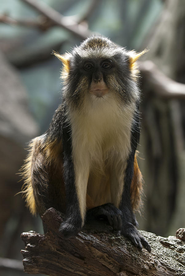 Bronx Zoo Photograph - Congo Monkey1 by Clifford Pugliese