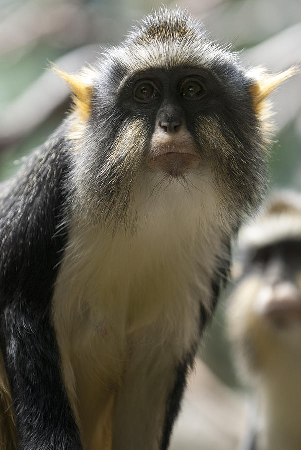 Bronx Zoo Photograph - Congo Monkey2 by Clifford Pugliese