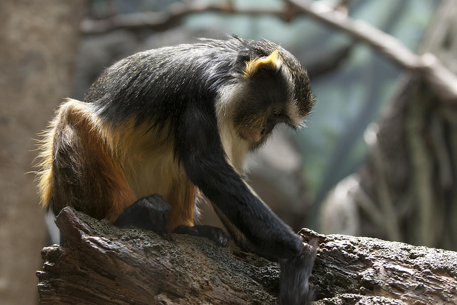 Bronx Zoo Photograph - Congo Monkey3 by Clifford Pugliese
