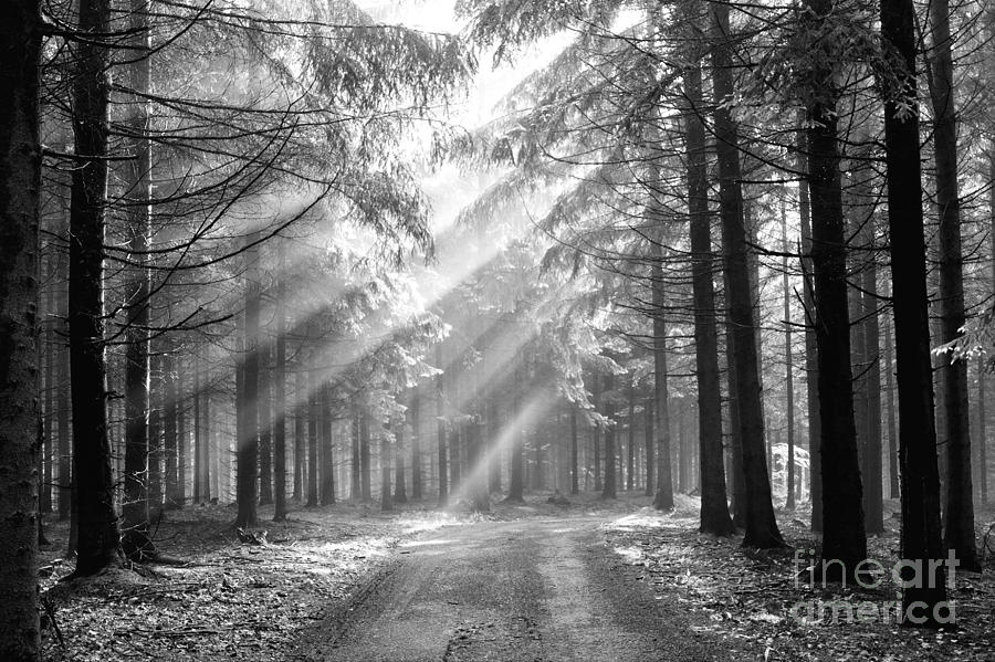 Black And White Photograph - Conifer Forest In Fog by Michal Boubin