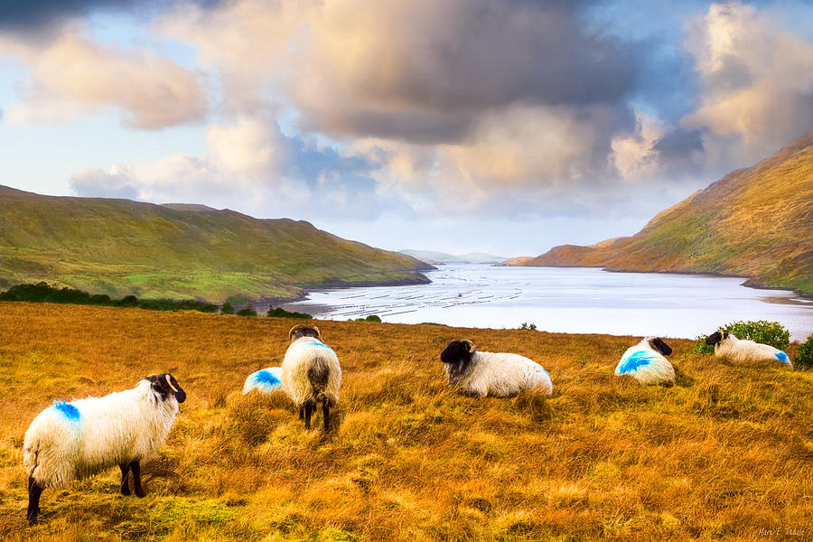 Galway Photograph - Connemara Sheep Grazing Over Killary Fjord by Mark E Tisdale