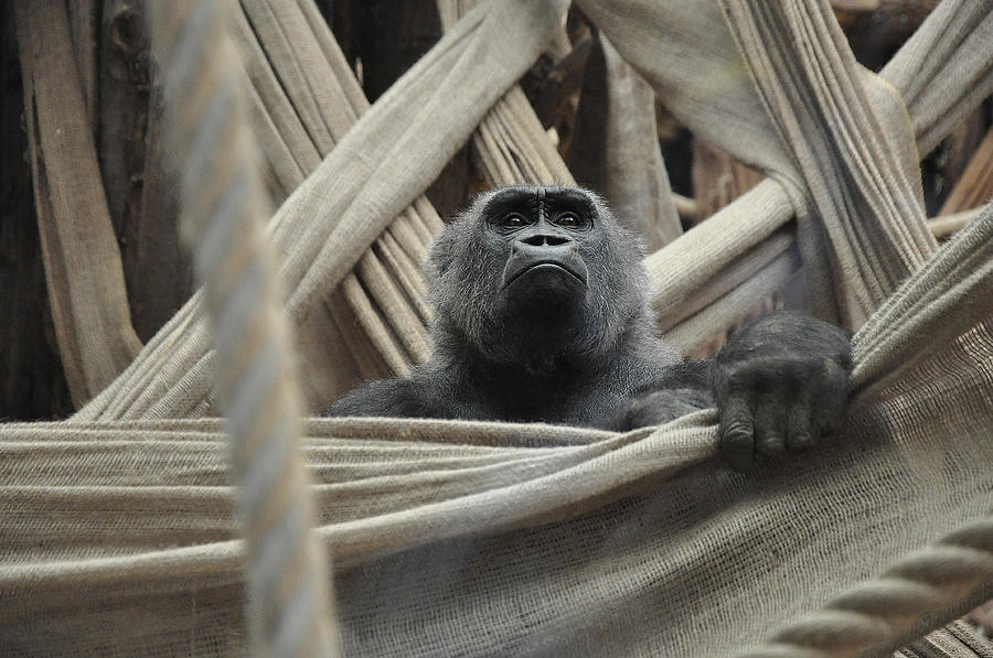 Gorilla Photograph - Contemplate by Caroline Reyes-Loughrey