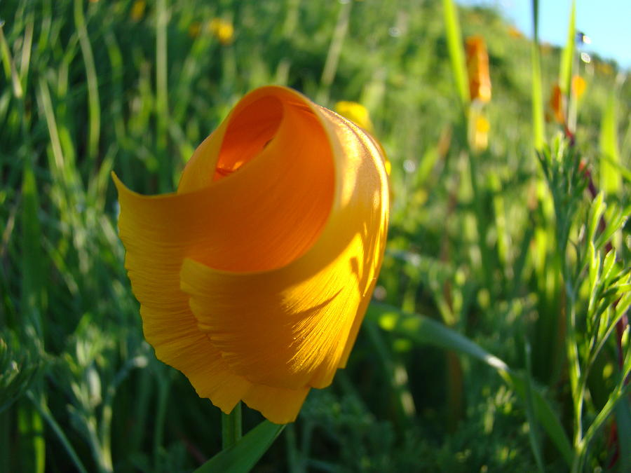 Poppies Photograph - Contemporary Orange Poppy Flower Unfolding In Sunlight 10 Baslee Troutman by Baslee Troutman
