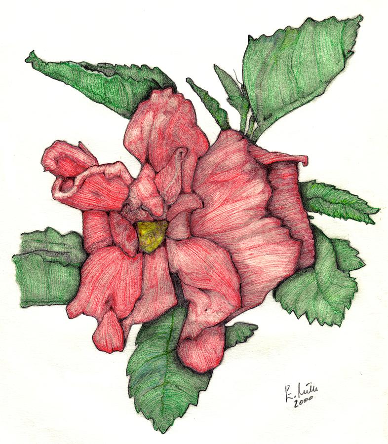 Hibiscus Drawing - Contour Double Hibiscus by Edward Ruth