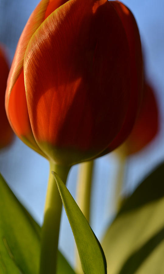 Tulips Photograph - Contrast by Corinne Rhode
