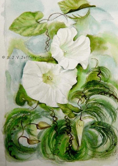 Convolvulus.3. Painting by SJV Jeffery-Swailes