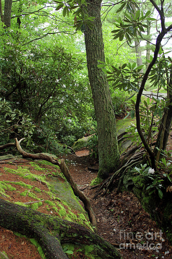 Rhododendron Photograph - Cook Forest by E B Schmidt