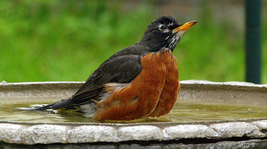 Turdus Migratorius Photograph - Cool And Cautious by Kala King