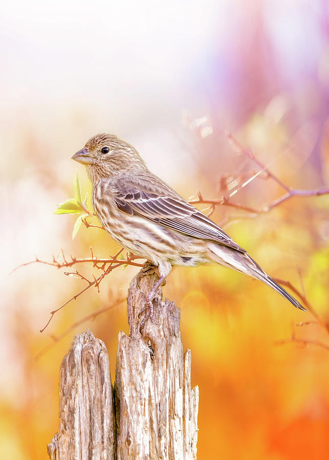 Cool Autumn Finch by Bill Tiepelman